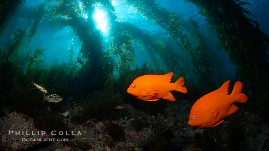 Garibaldi swims in the kelp forest
